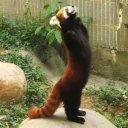 """Красная панда. """"Огненная лисица"""" - так называют её в Китае"""