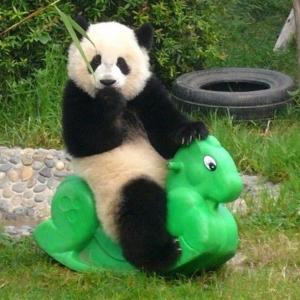 настоящая панда